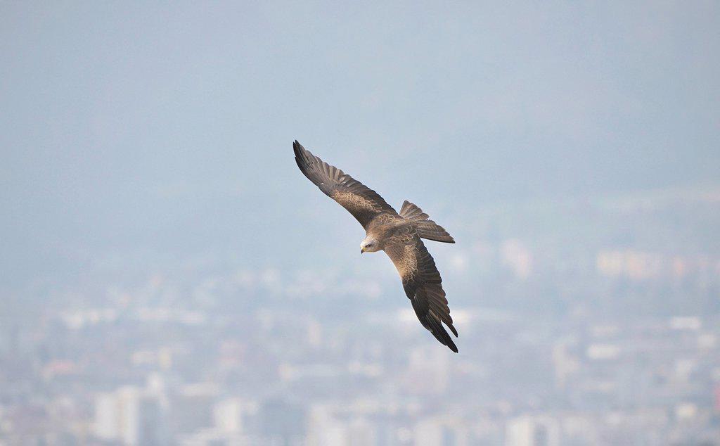 Stock Photo: 1848R-637853 Black kite Milvus migrans, Landskron Castle, an ornithological station for raptorial birds, Carinthia, Austria, Europe