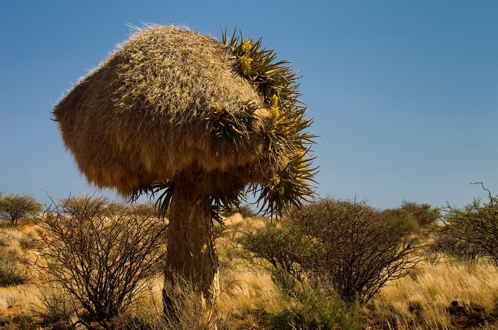 Stock Photo: 1848R-638021 Flowering Quiver Tree or Kokerboom Aloe dichotoma with a weaver´s nest, Kenhardt, Northern Cape, South Africa, Africa