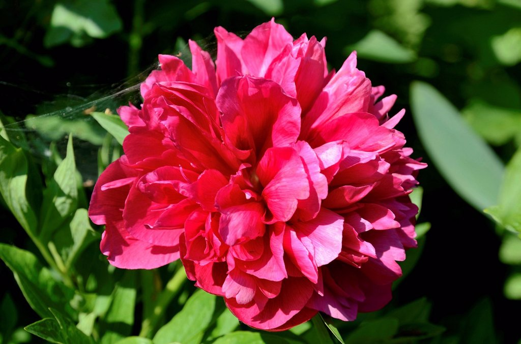 Stock Photo: 1848R-638047 Red flower, peony Paeonia officinalis hybrid