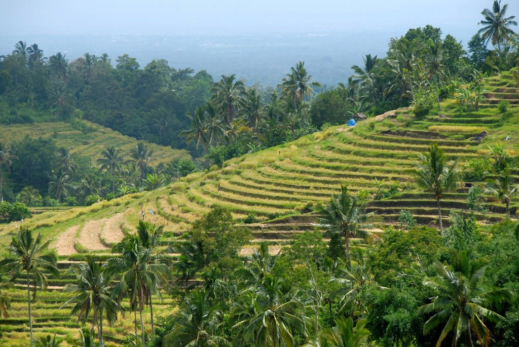 Agriculture, rice paddies, rice terraces and coconut palms, Jatiluwih in Ubud, Bali, Indonesia, Southeast Asia, Asia : Stock Photo