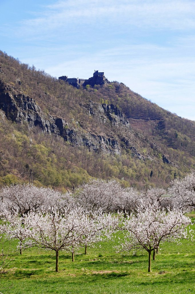 Stock Photo: 1848R-638359 Apricot trees in blossom, flowering apricot trees Prunus armeniaca, Aggstein castle ruin at the back, Wachau valley, Lower Austria, Austria, Europe