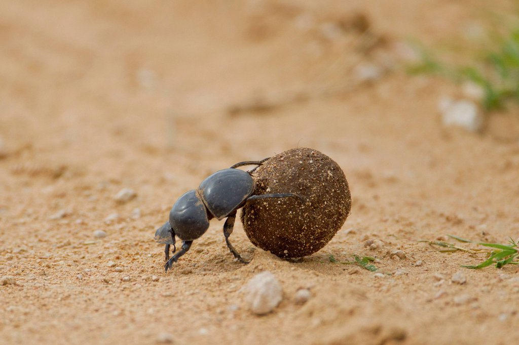 Dung beetle Scarabaeidae at Addo Elephant Park, South Africa : Stock Photo
