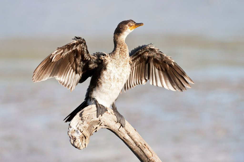 Stock Photo: 1848R-638828 Cape cormorant or Cape shag phalacrocorax capensis at Wilderness National Park, South Africa