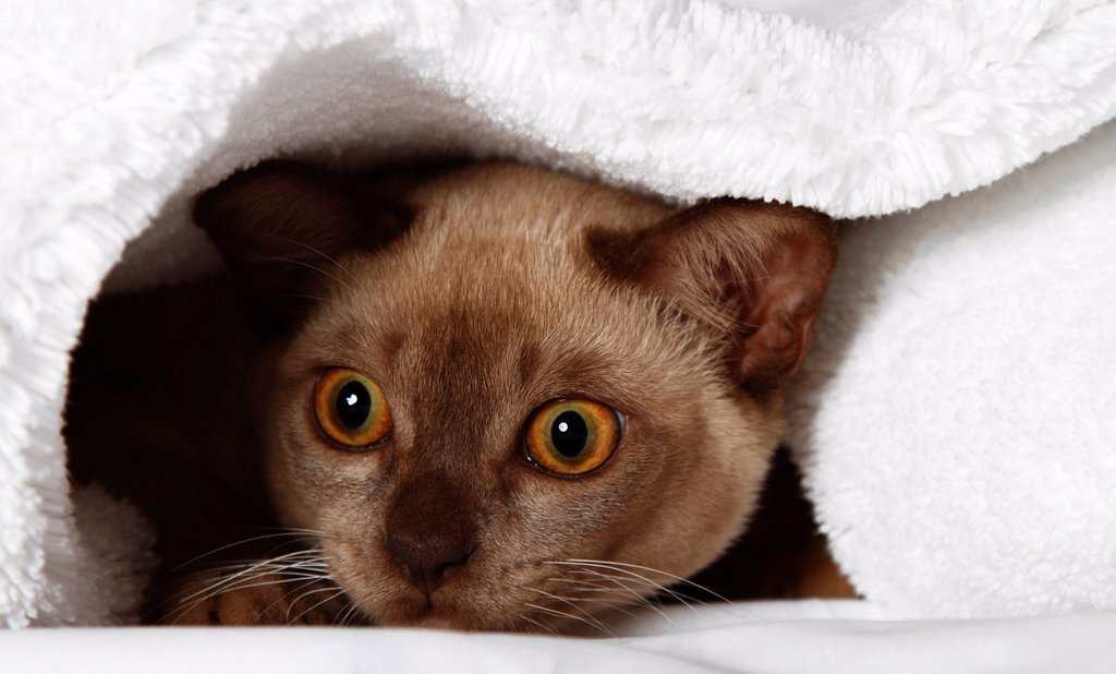 Burmese cat looking out from under a blanket : Stock Photo