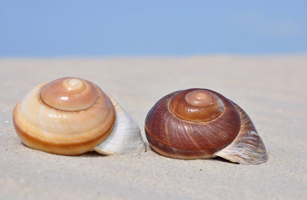 Stock Photo: 1848R-639309 Two snail shells in the sand, beach on the North Sea, St. Peter_Ording, Schleswig_Holstein, Germany, Europe