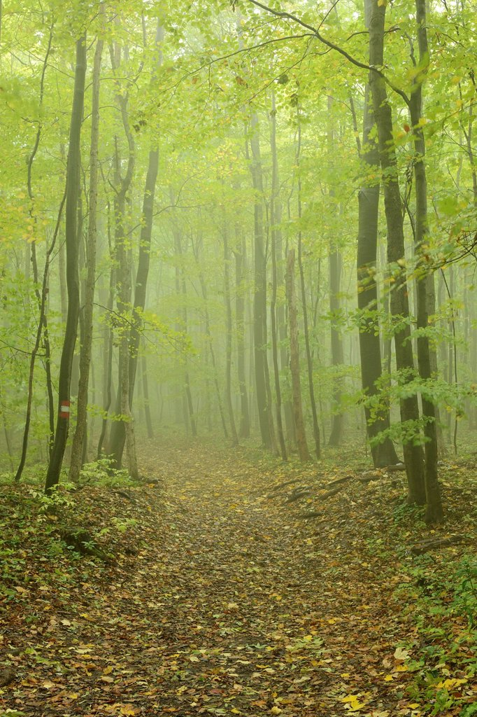 Hiking trail and deciduous forest in fog, Arnstein, Lower Austria, Austria, Europe : Stock Photo
