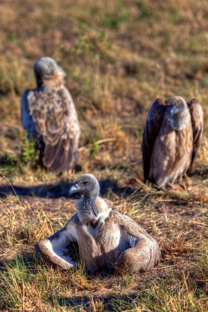 White_backed Vultures Gyps africanus, Masai Mara National Reserve, Kenya, East Africa, Africa, PublicGround : Stock Photo