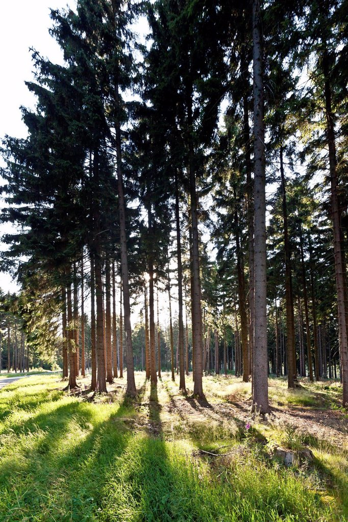 Forest with pine trees in backlight : Stock Photo