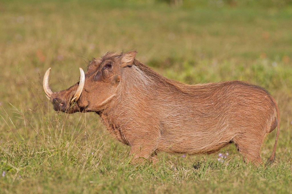 Stock Photo: 1848R-640198 Warthog Phacochoerus africanus at Addo Elephant Park, South Africa