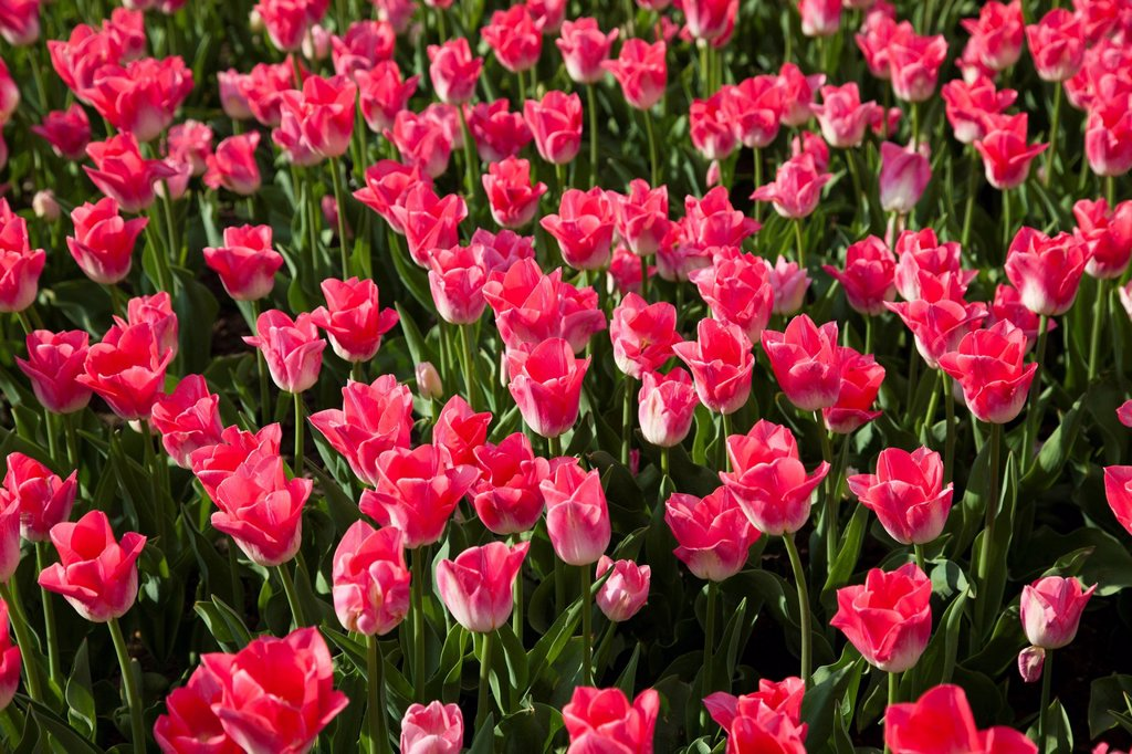 Stock Photo: 1848R-640287 Bed of pink Tulips Tulipa