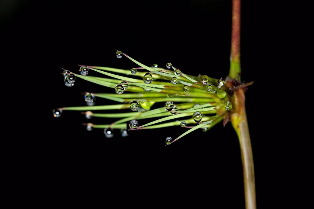 Stock Photo: 1848R-640352 Horsetail, snake grass or puzzlegrass Equisetales with raindrops, Tandayapa region, Andean cloud forest, Ecuador