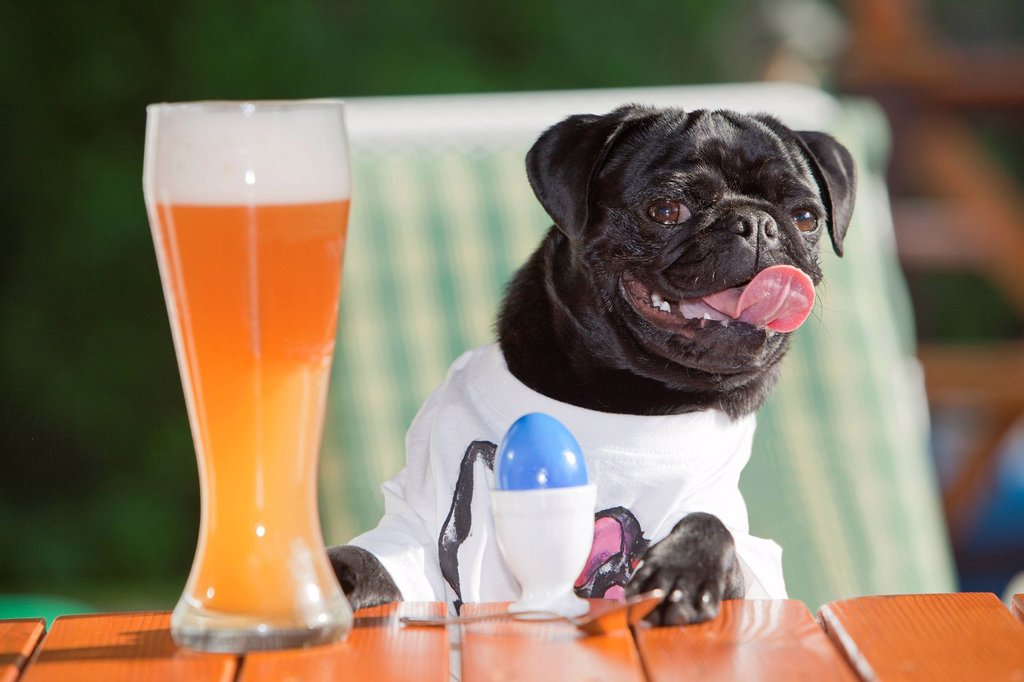 Young pug wearing a T_shirt, sitting behind a wheat beer and an Easter egg : Stock Photo