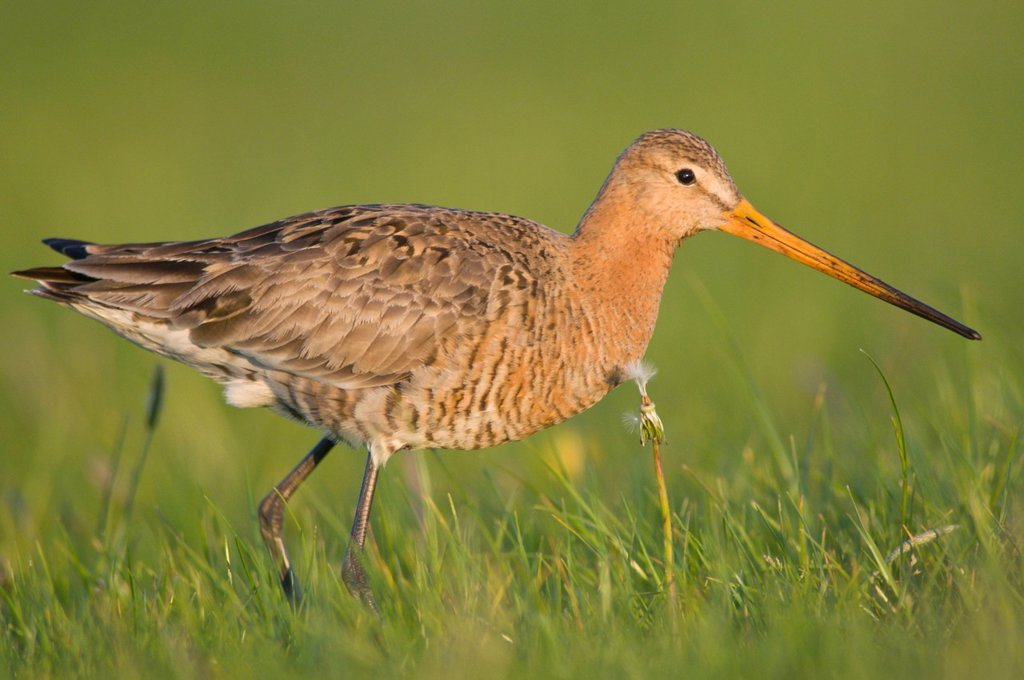 Black_tailed Godwit Limosa limosa, Emsland region, Germany, Europe : Stock Photo