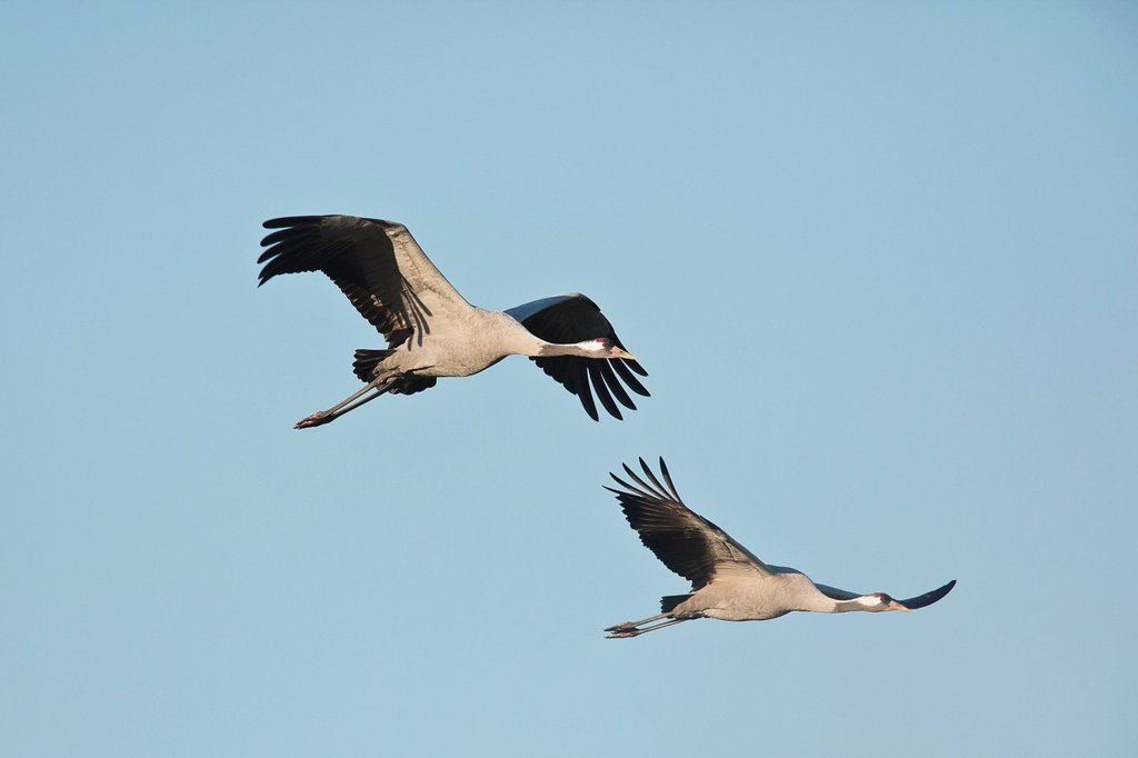 Stock Photo: 1848R-640512 Cranes Grus grus in flight, Mecklenburg_Western Pomerania, Germany, Europe