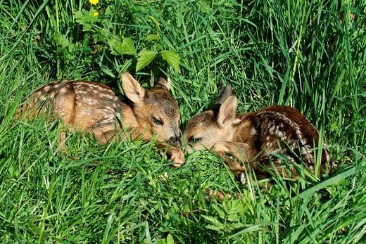 Stock Photo: 1848R-640581 European Roe Deer Capreolus capreolus two fawns hiding in the tall grass, Allgaeu region, Bavaria, Germany, Europe