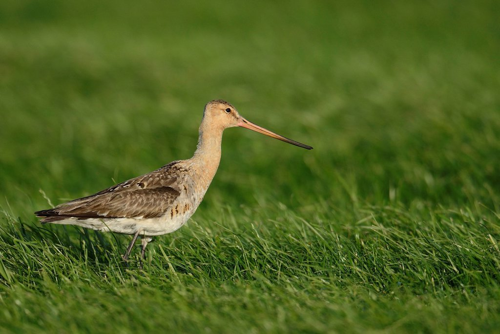 Black_tailed Godwit Limosa limosa, Texel, The Netherlands, Europe : Stock Photo