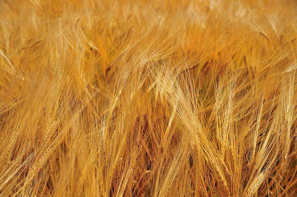 Stock Photo: 1848R-640621 Spring barley Hordeum, Swabian Alb, Baden_Wuerttemberg, Germany, Europe, PublicGround