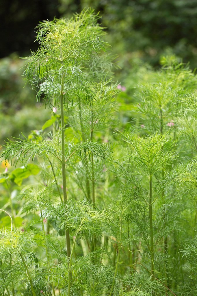 Stock Photo: 1848R-640877 Dill Anethum graveolens