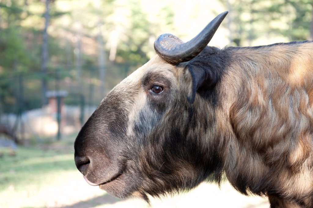 Stock Photo: 1848R-641439 Mishmi Takin Budorcas taxicolor, Bhutan´s national animal, portrait, Motithang Takin Preserve, Thimphu, the Himalayas, Kingdom of Bhutan, South Asia, Asia