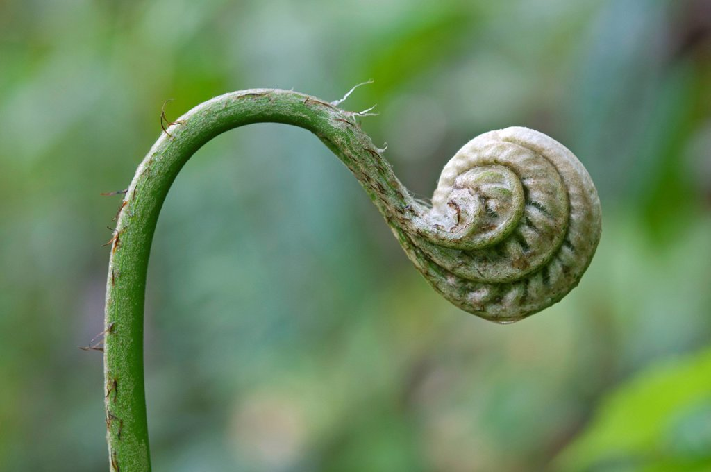Frond unfurling, Tandayapa region, Andean cloud forest, Ecuador, South America : Stock Photo
