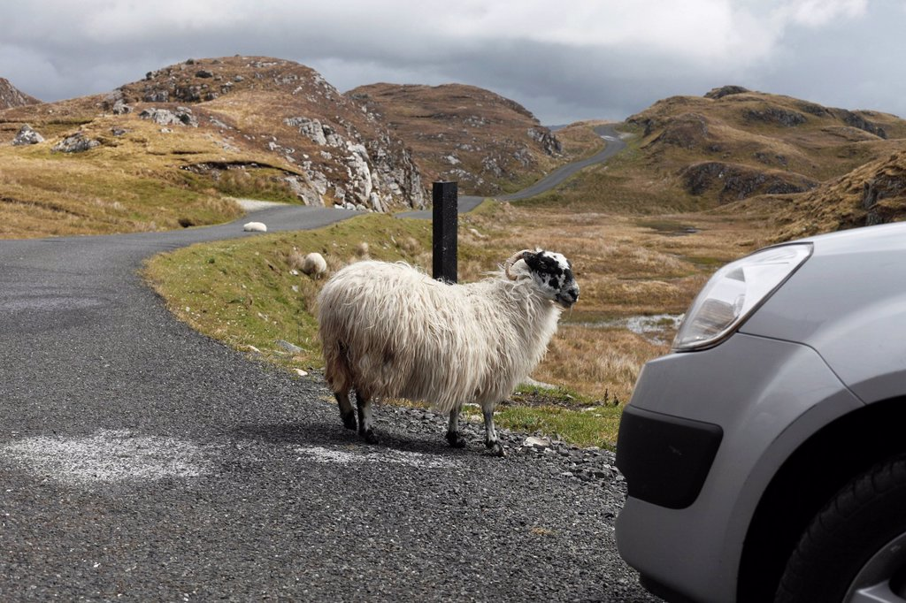 Stock Photo: 1848R-642078 Sheep on road to Slieve League, County Donegal, Ireland, Europe, PublicGround