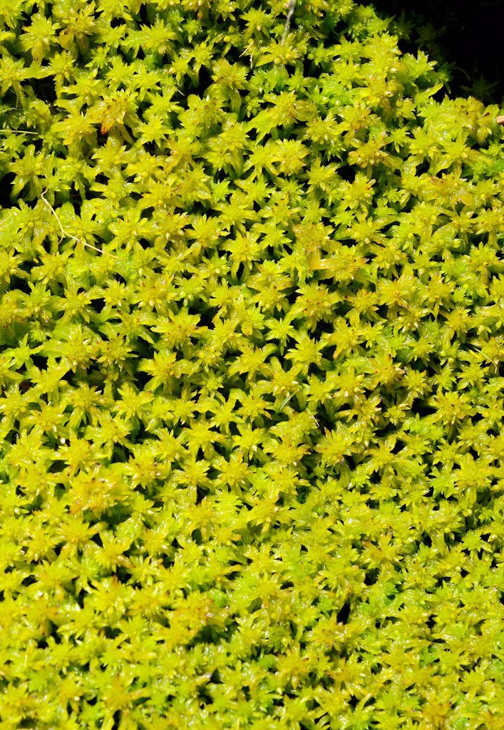 Stock Photo: 1848R-642138 Moss species Sphagnum fallax, water_soaked peat moss carpet