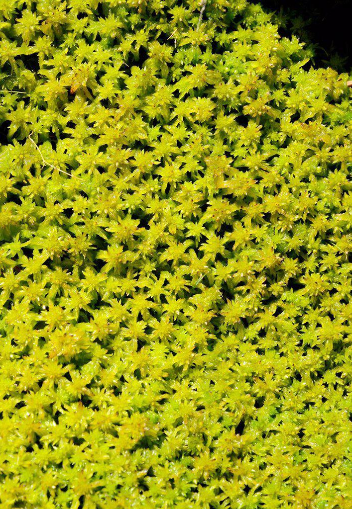Moss species Sphagnum fallax, water_soaked peat moss carpet : Stock Photo