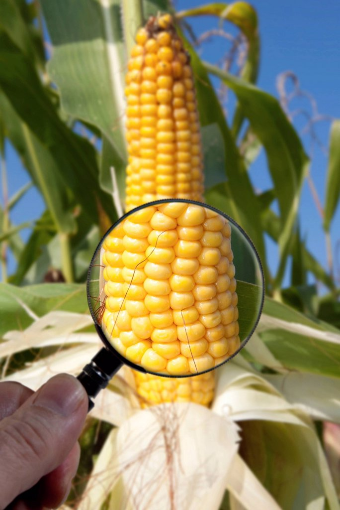 Stock Photo: 1848R-642420 Genetically modified maize or corn is examined under a magnifying glass