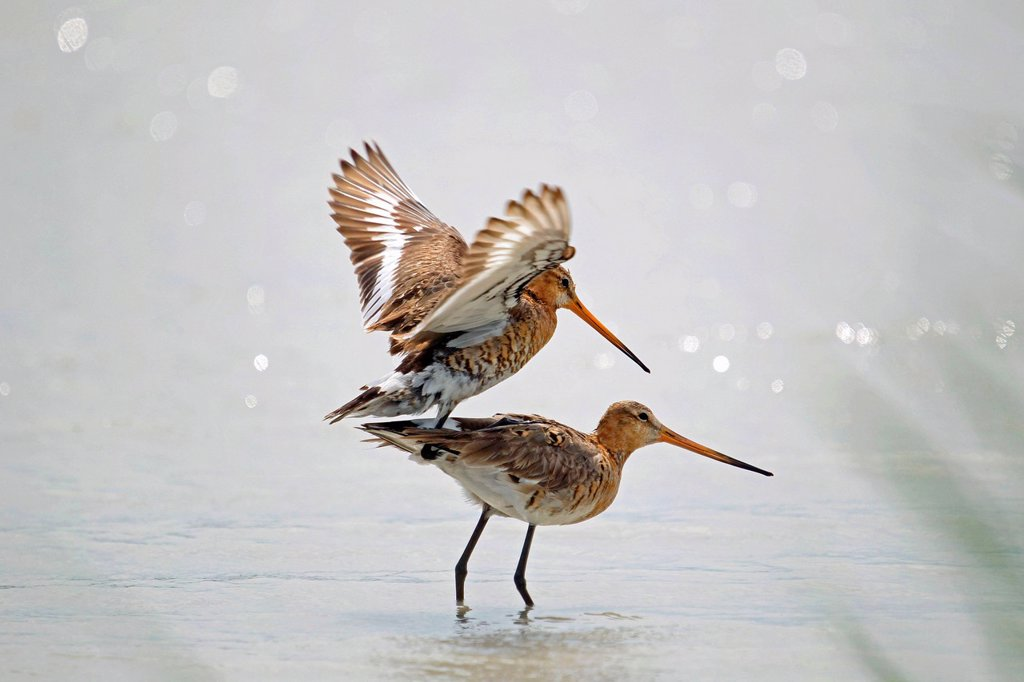 Stock Photo: 1848R-642612 Black_tailed Godwits Limosa limosa, mating in the water, Burgenland, Austria, Europe
