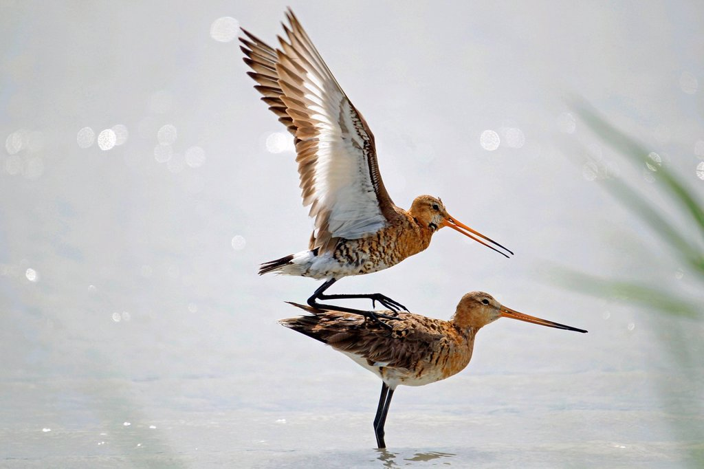 Black_tailed Godwits Limosa limosa, mating in the water, Burgenland, Austria, Europe : Stock Photo