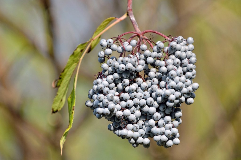Blue Elderberry or Blue Elder Sambuccus caerulea, Coeur d´Alene National Forest, Idaho, USA : Stock Photo