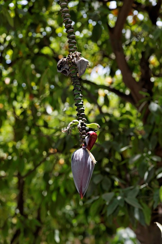 Inflorescence of a banana tree Musa : Stock Photo