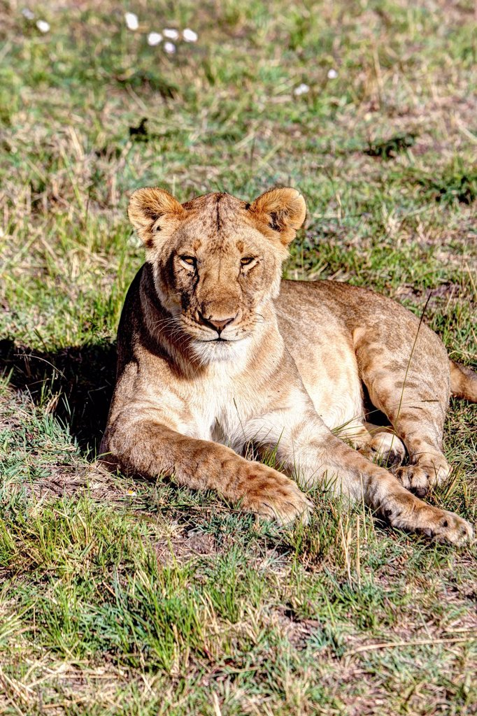 Young lioness Panthera leo, Maasai Mara National Reserve, Kenya, East Africa, Africa, PublicGround : Stock Photo
