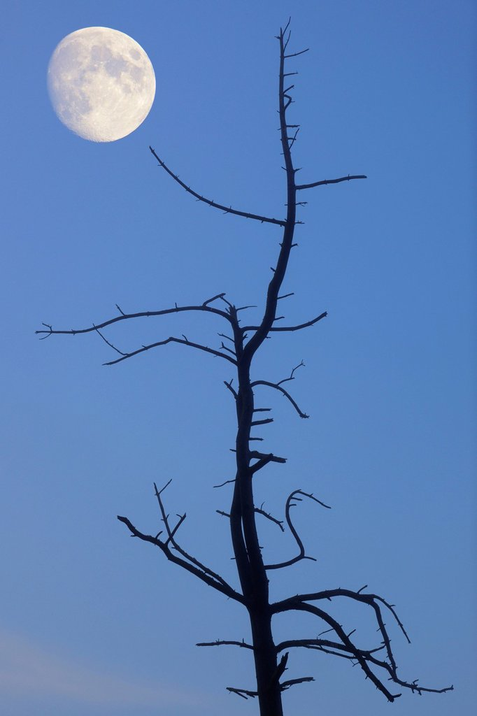 Stock Photo: 1848R-645398 Old tree with the moon, composing, Baden_Wuerttemberg, Germany, Europe