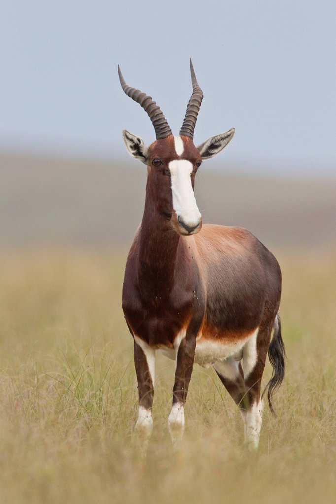 Stock Photo: 1848R-645553 Bontebok Damaliscus dorcas at Bontebok National Park, South Africa