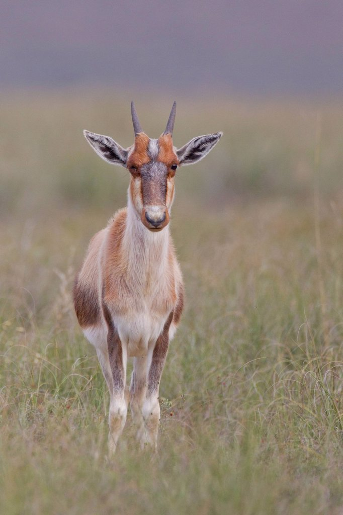 Bontebok Damaliscus dorcas at Bontebok National Park, South Africa : Stock Photo