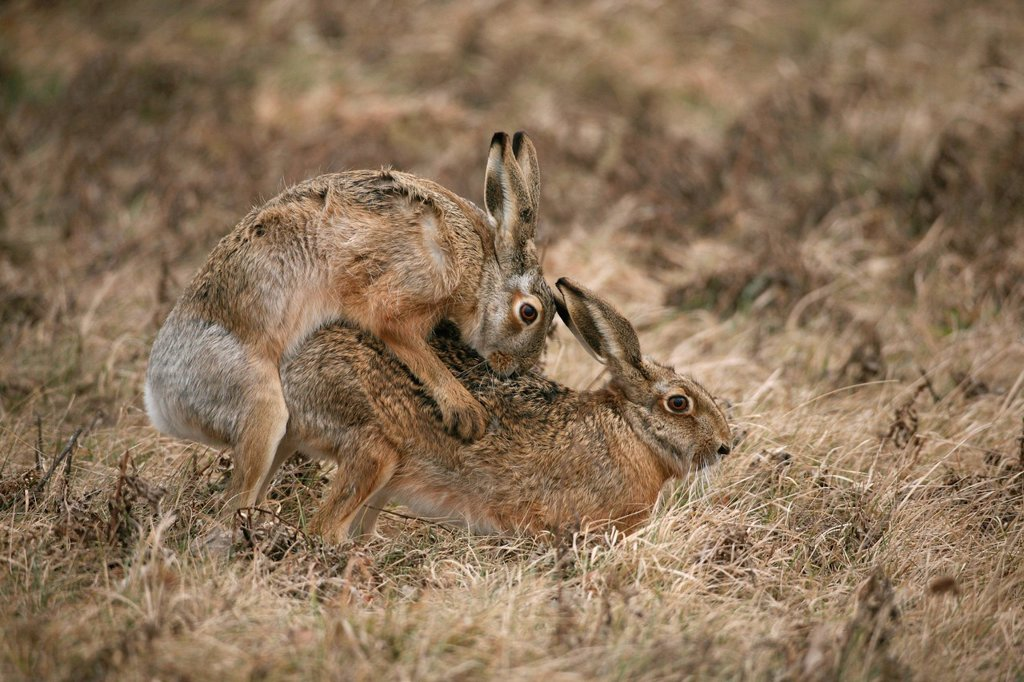 Stock Photo: 1848R-645970 Hares Lepus europaeus mating, Allgaeu, Bavaria, Germany, Europe