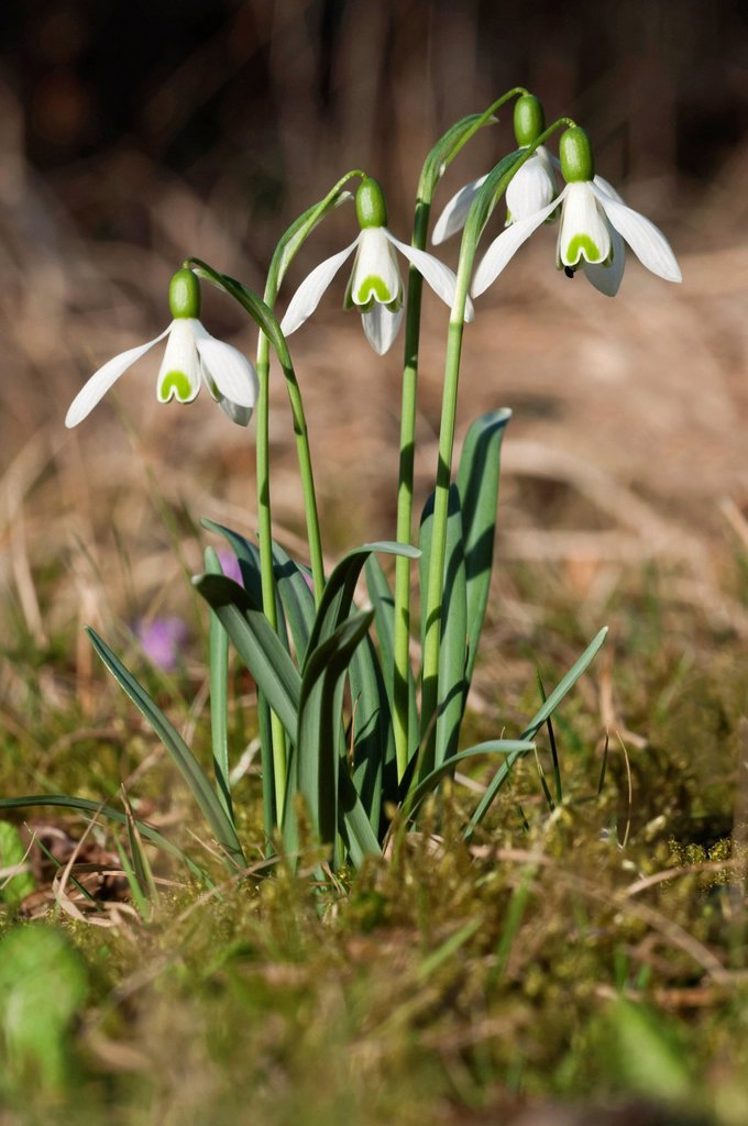 Stock Photo: 1848R-646139 Snowdrops Galanthus nivalis, Untergroeningen, Baden_Wuerttemberg, Germany, Europe