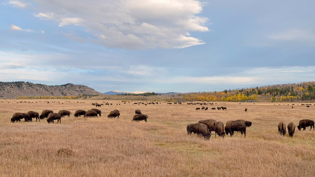 Bison herd Bison bison, Elk Ranch Flats, Grand Teton National Park, Wyoming, USA : Stock Photo