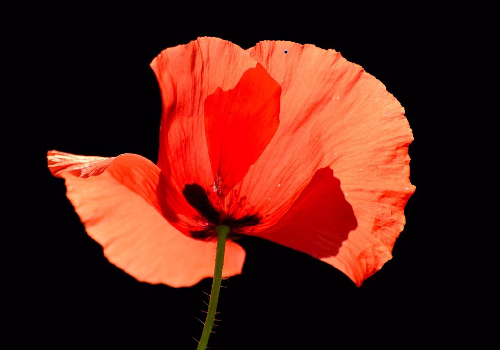 Poppy Papaver rhoeas, flower, backlighting : Stock Photo
