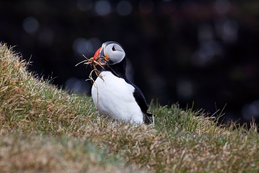 Stock Photo: 1848R-663226 Puffin Fratercula arctica, Latrabjarg Peninsula, West Fjords, Iceland, Europe