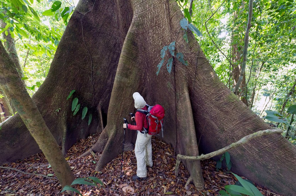 Hiker in front of the buttress roots of a Kapok or Silk_cotton Tree Ceiba pentandra, Sirena, Corcovado National Park, Puntarenas Province, Costa Rica, Central America : Stock Photo