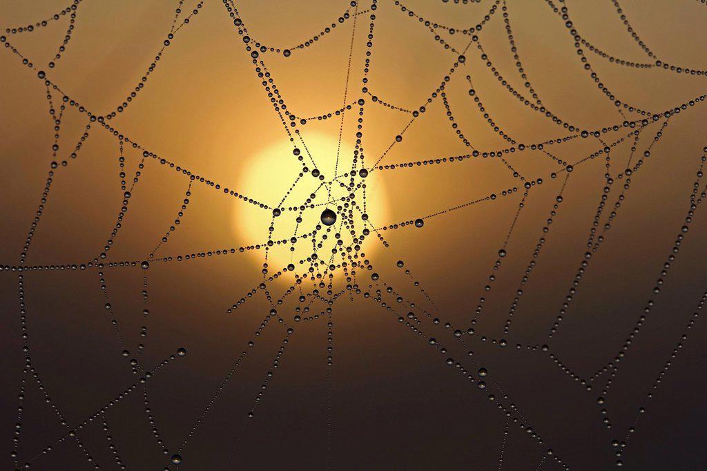Stock Photo: 1848R-727129 Cobweb with dew at sunrise