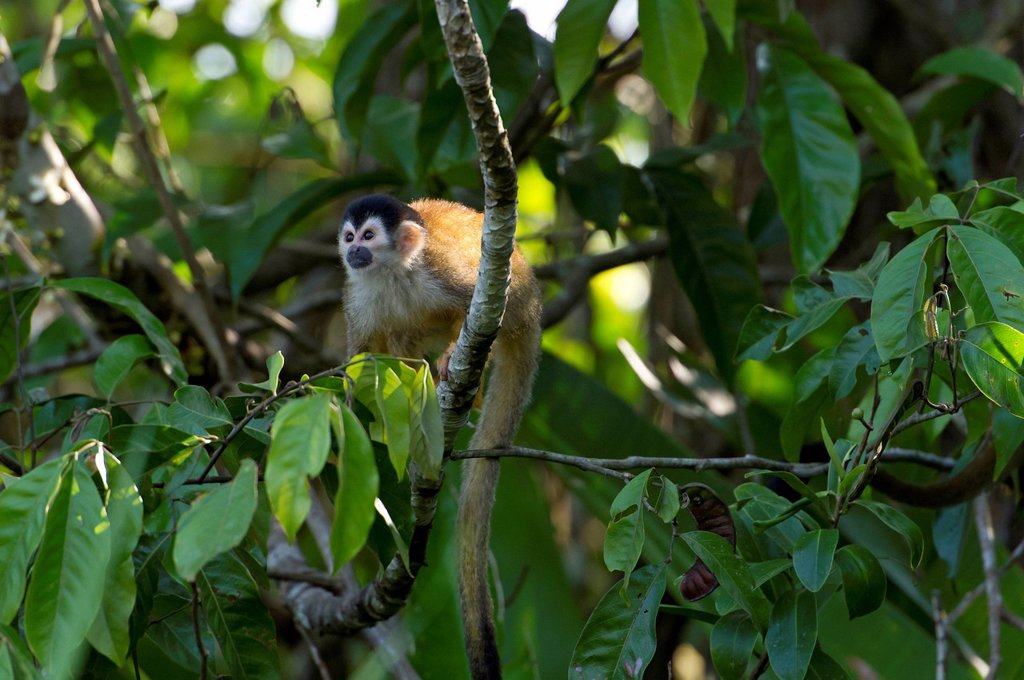 Central American Squirrel Monkey Saimiri oerstedii, Sierpe, Puntarenas Province, Costa Rica, Central America : Stock Photo