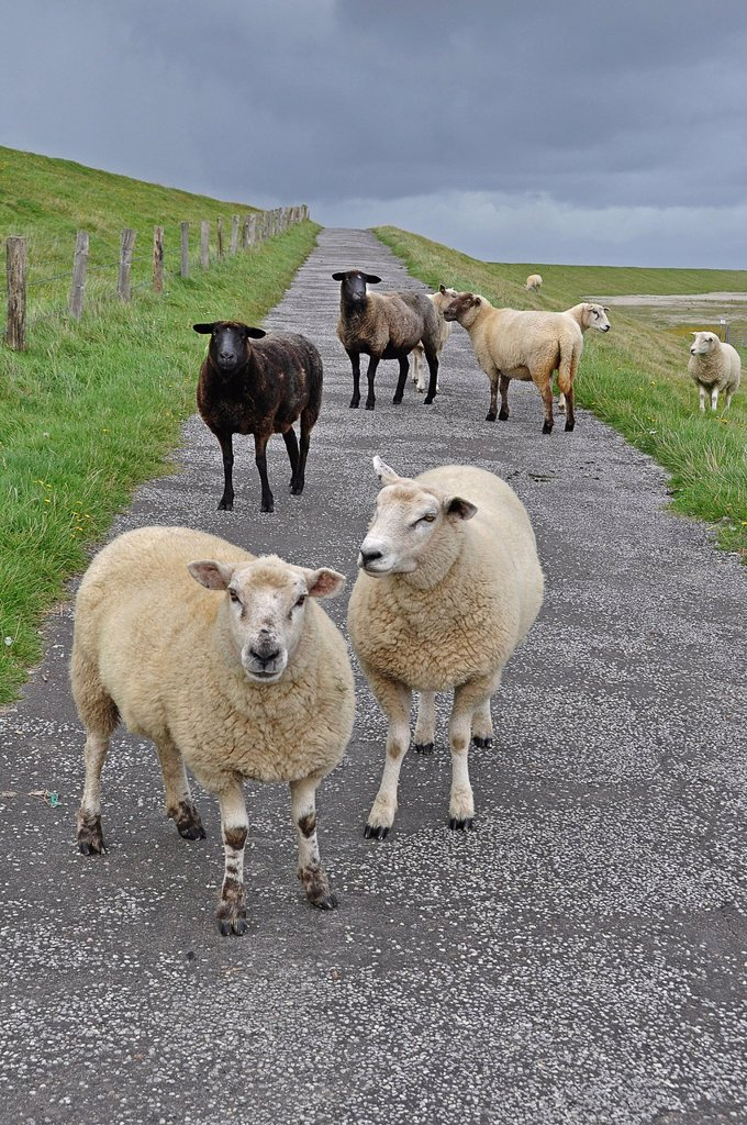 Stock Photo: 1848R-733718 Domestic Sheep Ovis orientalis Aries on a dyke on Foehr, North Frisian Island, Schleswig_Holstein, Germany, Europe