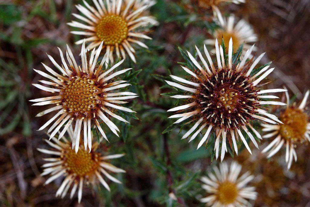Carline Thistle Carlina vulgaris, flowering, Niederlemb, Hesse, Germany, Europe : Stock Photo