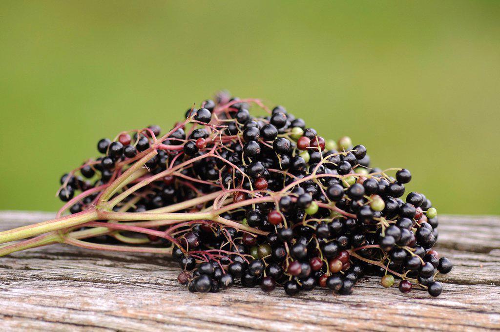Stock Photo: 1848R-734092 Elderberries Sambucus nigra