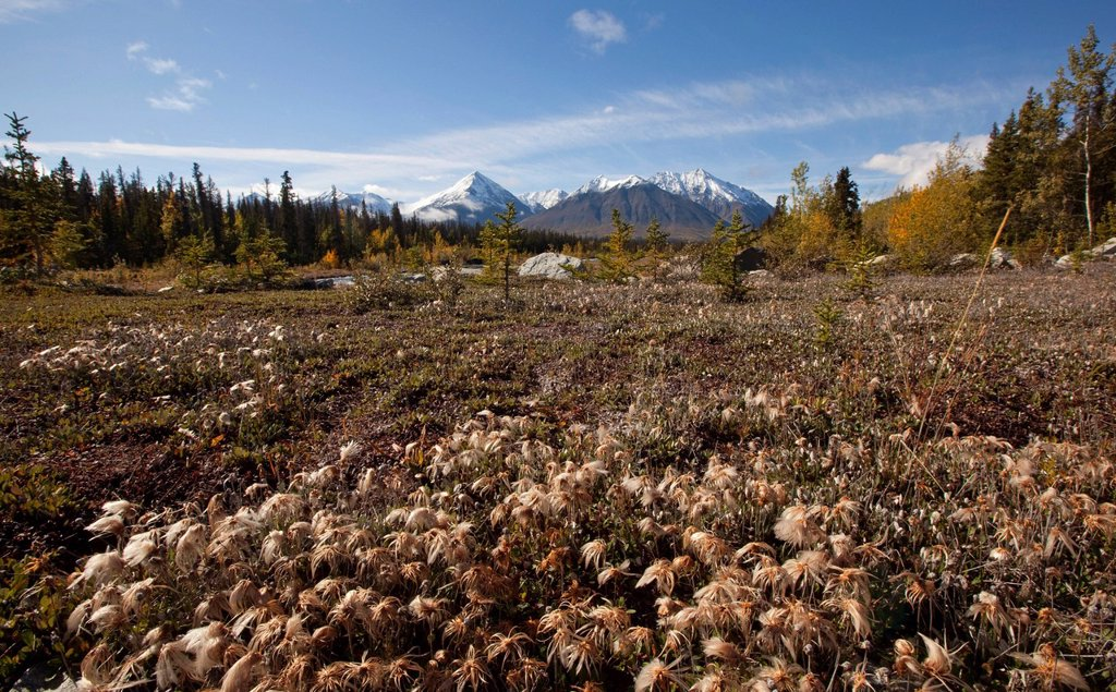 Cotton grass at Quill Creek, autumn, fall colours, Indian summer, St. Elias Mountains, Kluane National Park and Reserve behind, Yukon Territory, Canada : Stock Photo