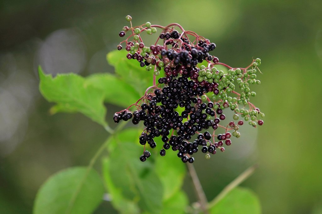 Stock Photo: 1848R-735109 Black Elderberry Sambucus nigra fruit cluster with leaves, Lindlar, North Rhine_Westphalia, Germany, Europe