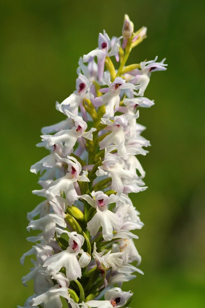 Stock Photo: 1848R-735510 Early Marsh Orchid Dactylorhiza incarnata Albino, albino variant, Europe
